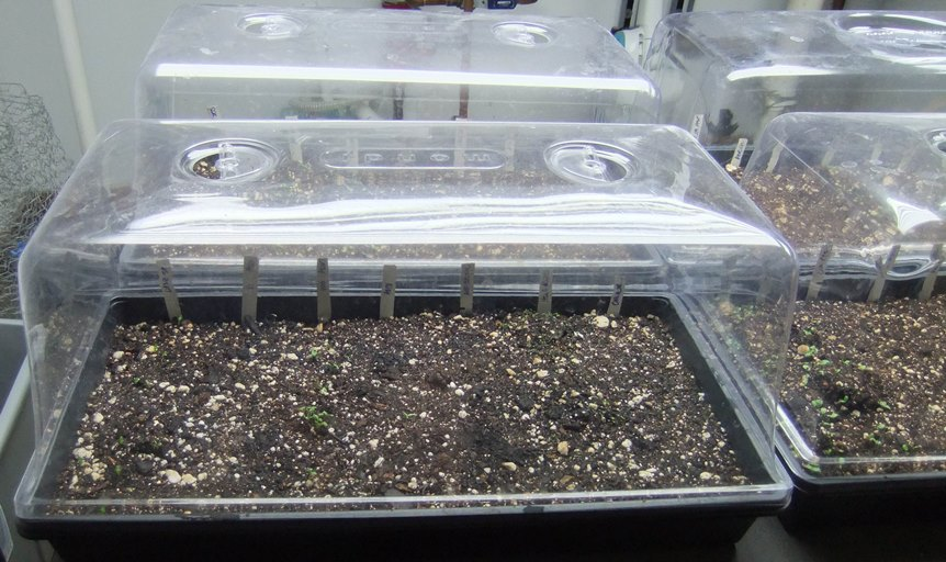 seedlings tray cover with plastic wrap for mantain constant moisture