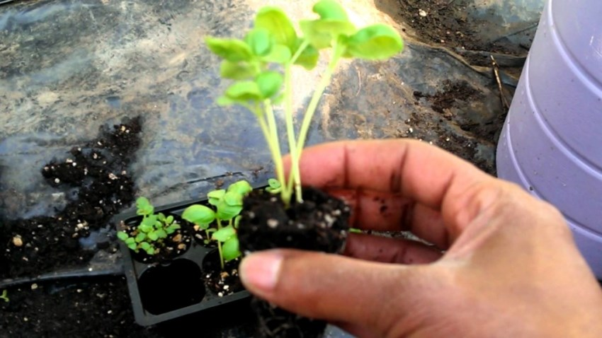 seedlings transplantation