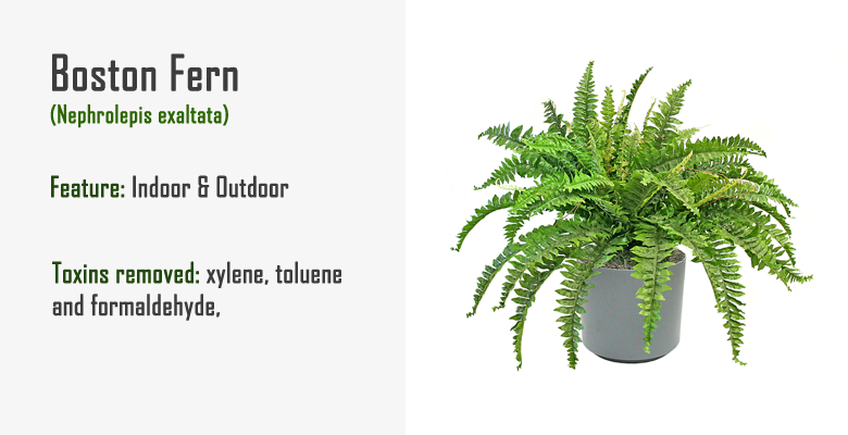 air purifying plant boston fern