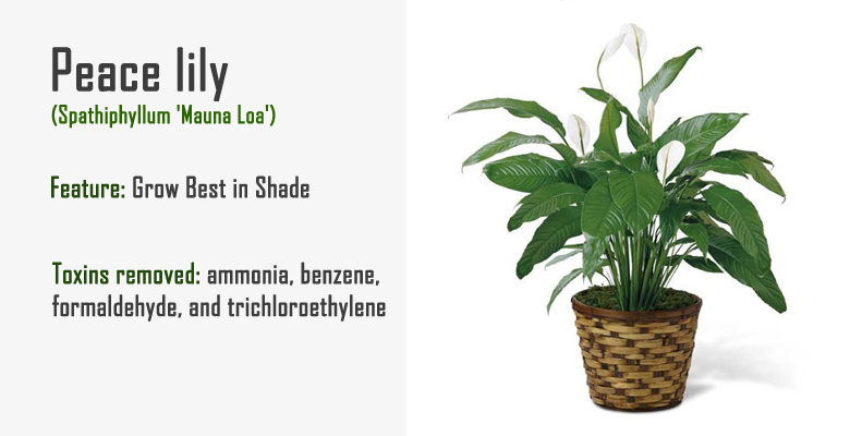 peace lily air purify