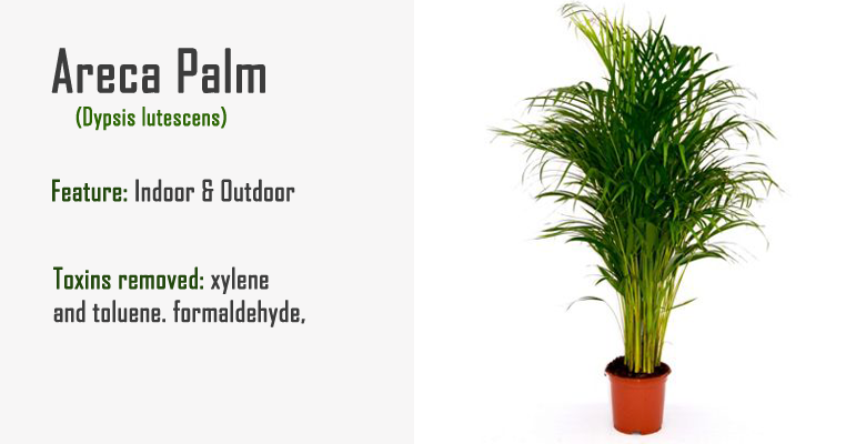 areca palm air purify plant