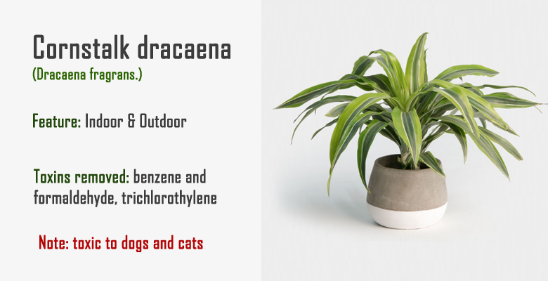 cornstalk dracaena air purify plant