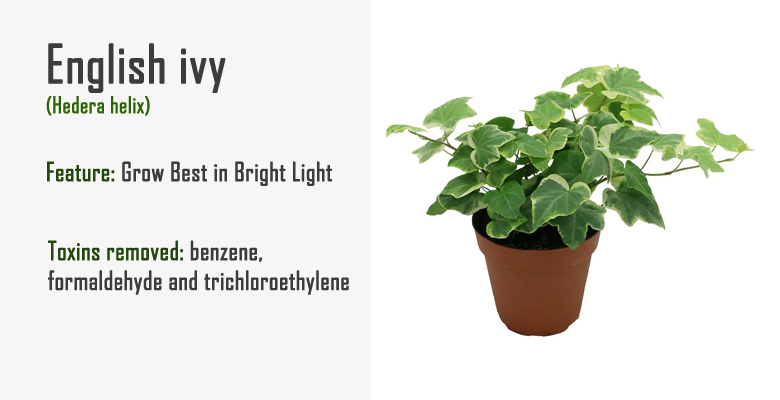 english ivy air purify plant