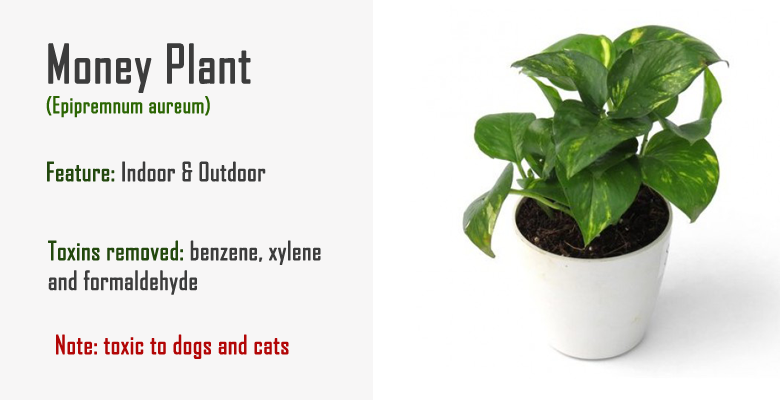 money plant air purify