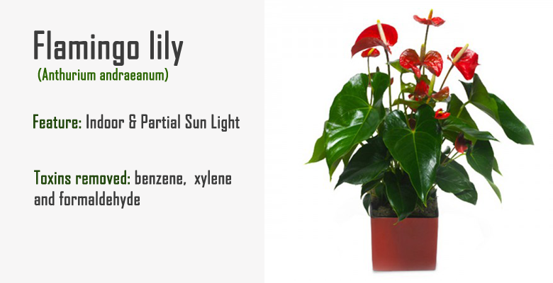 Peace lily air purify plant