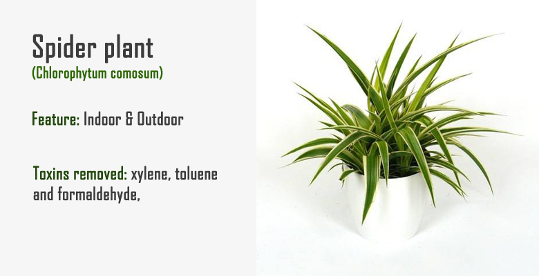 spider plant air purify plant