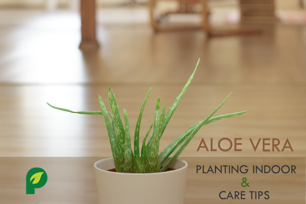 all you need to know about planting aloe vera indoor how to care aloe vera inside. Black Bedroom Furniture Sets. Home Design Ideas